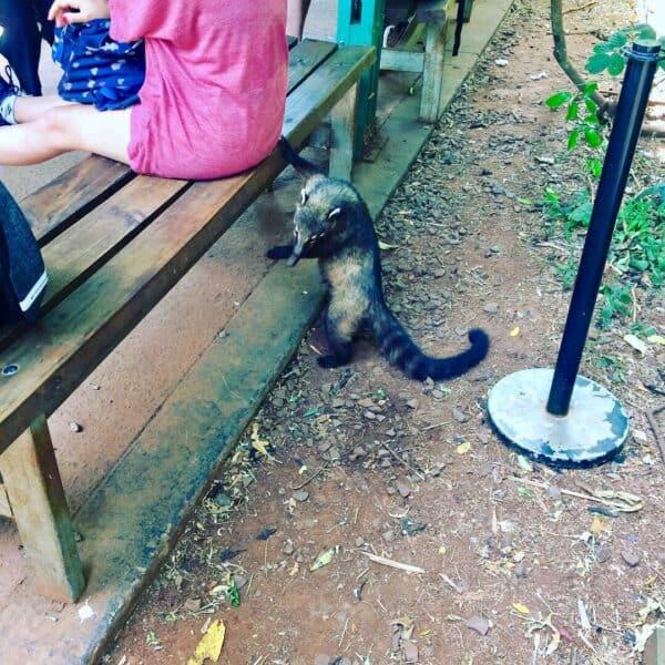 Chutes - Iguazú - Brésil - Argentine - Paraguay - naturel - impressionnant - magnifique - Animaux - coatie