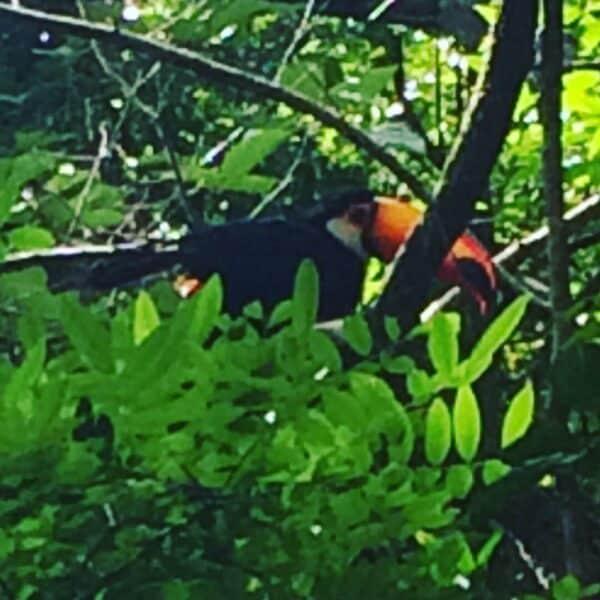 Chutes - Iguazú - Brésil - Argentine - Paraguay - naturel - impressionnant - magnifique - Animaux -toucan