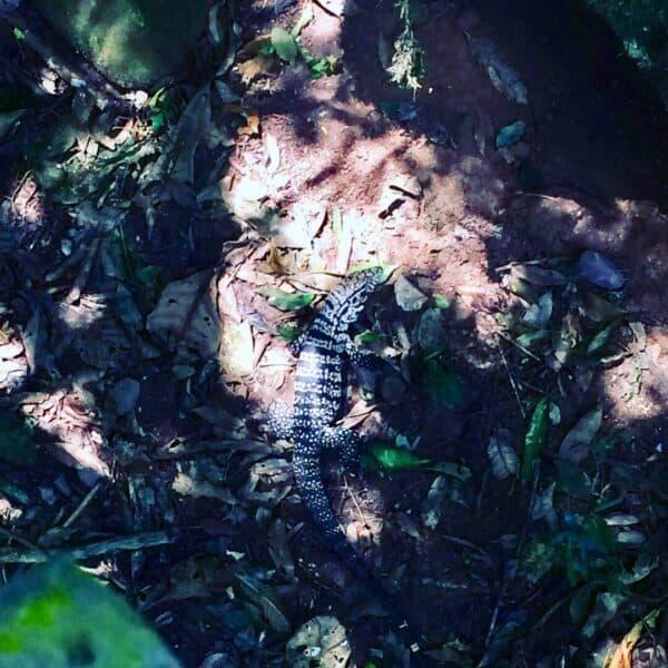 Chutes - Iguazú - Brésil - Argentine - Paraguay - naturel - impressionnant - magnifique - Animaux - iguanes