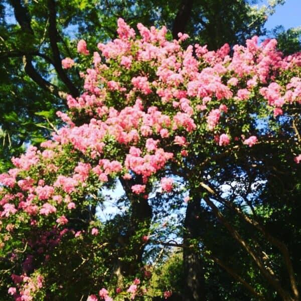 Fleur- buenos aires- argentine - fleur- arbre